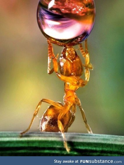 An ant drinking from a water droplet
