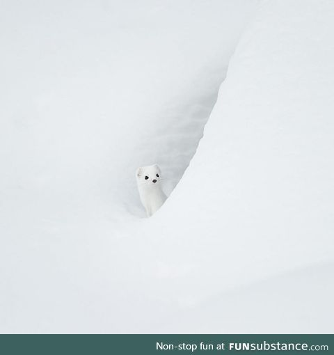 An Arctic Ermine in the Snow