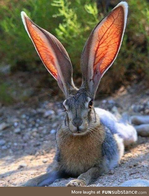 My, what big ears you have