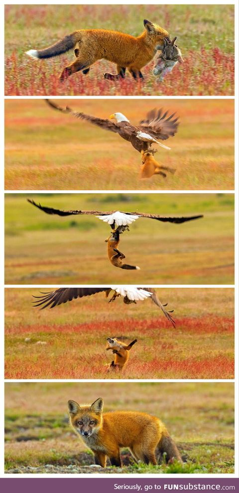 Eagle snatches away the rabbit from the fox
