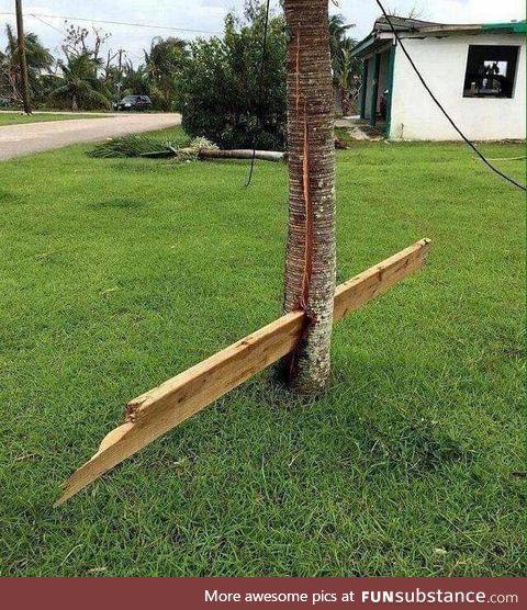 Unlucky tree after a hurricane