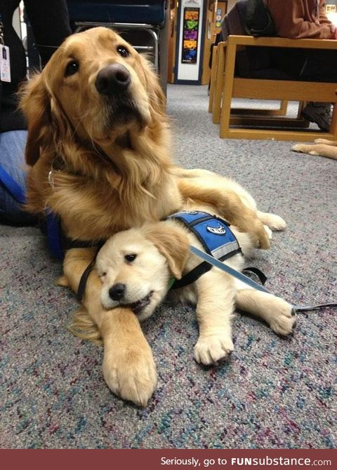 This mama dog comforting her puppy on it's first day as a police dog