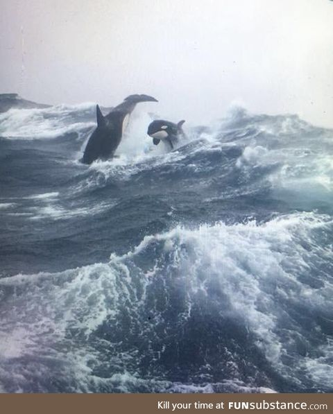 Killer whales on the sea