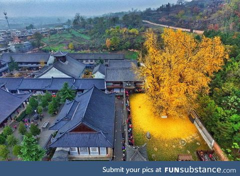 This 1400 year gingko tree in China sheds golden leaves during fall