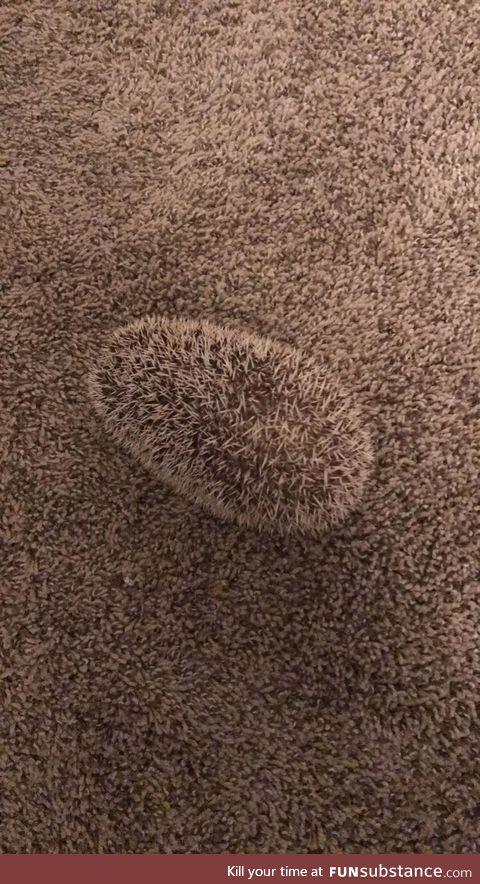 Hedgehog camouflaging itself