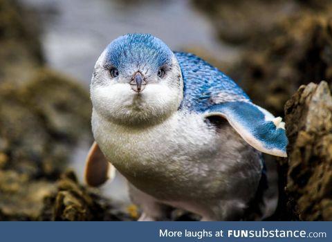 Beautiful blue pengwing
