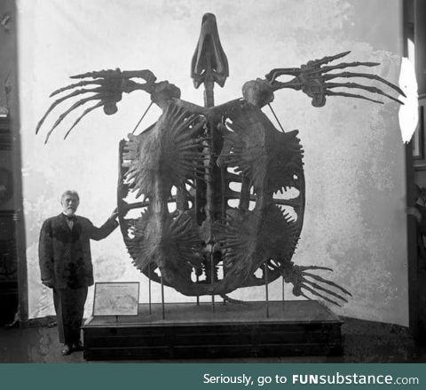 Giant extinct sea turtle called an Archelon