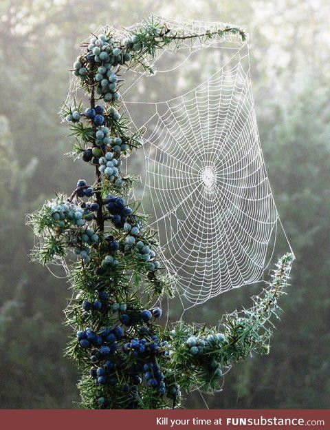 Spider web on a frosty juniper tree