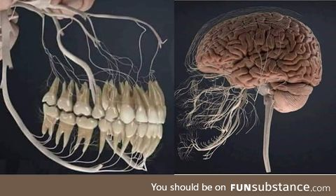 Nerves to your teeth