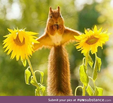 This adorable squirrel casually balancing on two sunflowers