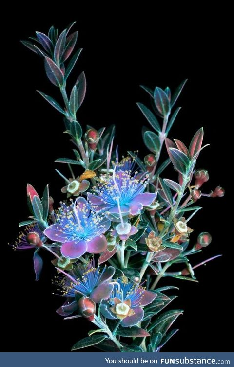 Flowers under UV light
