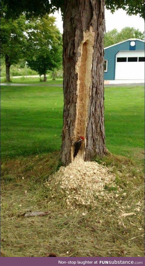A woodpecker trying to prove something