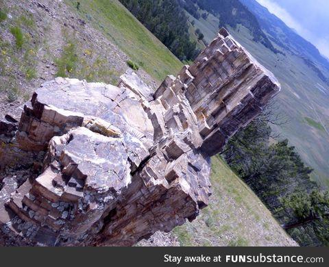 "50 million year old ""tree"" in Yellowstone"