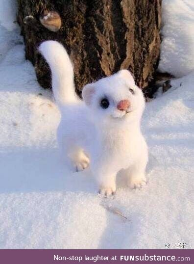 God of cuteness, little white weasel!