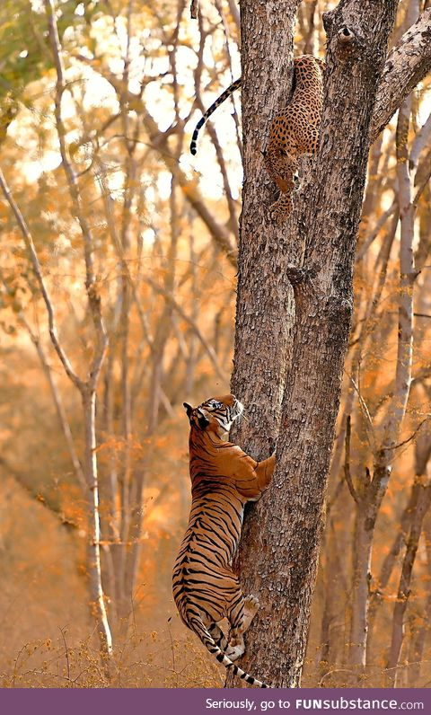 A Tiger trying to catch a Leopard in a tree