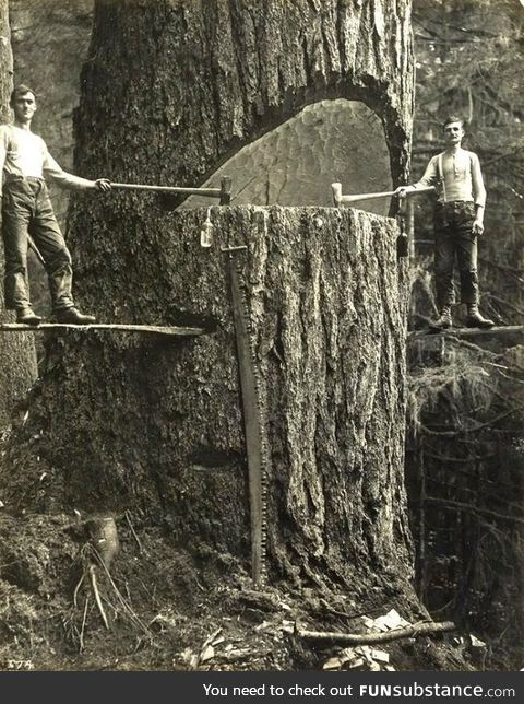 Two lumberjacks and a big tree in the Pacific Northwest 1915