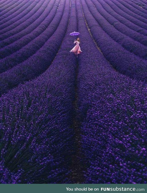 Lavender Bloom in France