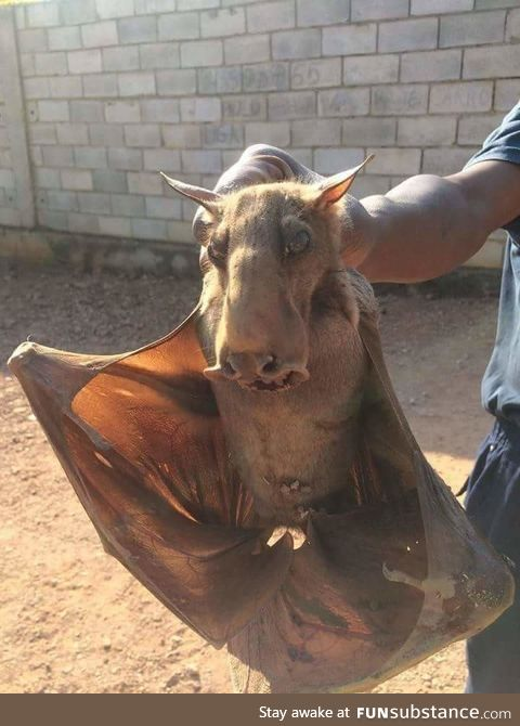 This is a hammerhead bat and is by far the creepiest animal I've seen