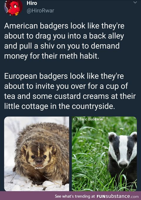The cultural difference between domestic and foreign badgers