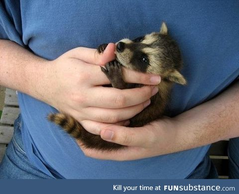 Baby raccoon who is so cute that you might not mind having him in your trash can