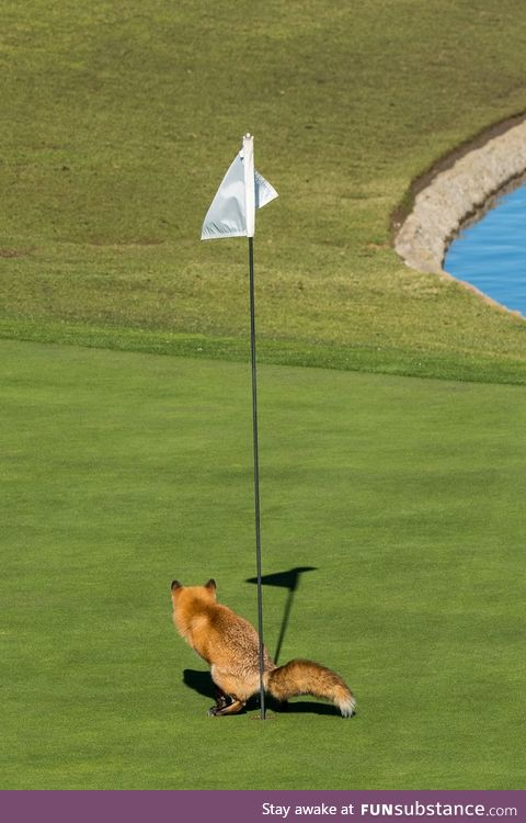 Fox crapping in a golf hole