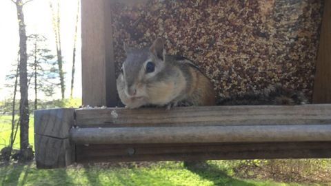 Chipmunk trying to feel less guilty after getting caught red handed