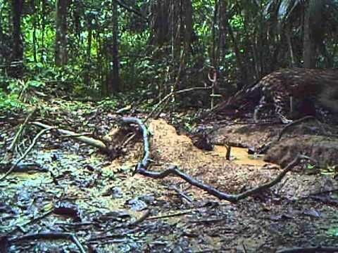 Camera footage from the deep jungles in Peru display amazing biodiversity