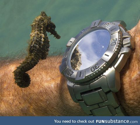Seahorse seeing its reflection in the watch of a diver