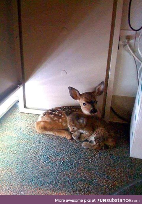 Fawn and bobcat cub found under a desk in office build after California forest fire