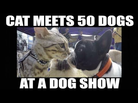 Cat meets 50 dogs at a dog show