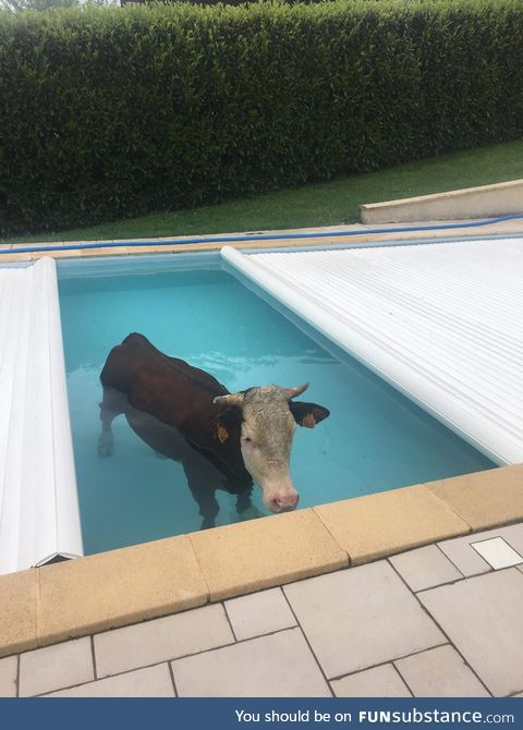 Hey Maud, there's a cow in the pool