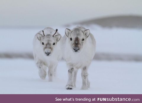 It's official, I now very much want a baby reindeer.