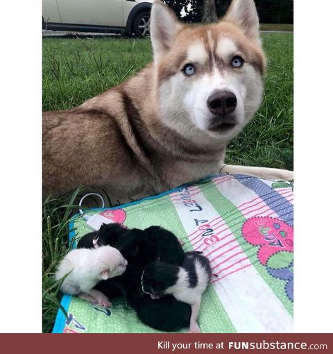 Dose of cheer: husky found kittens, adopts them