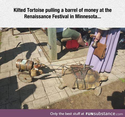 Kilted tortoise