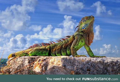 The Common Iguana is a majestic creature