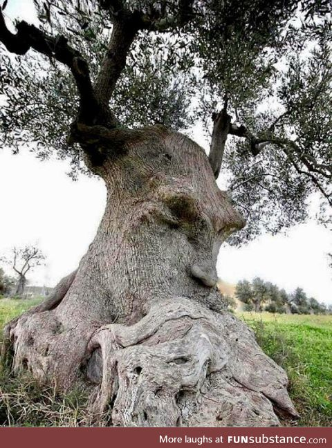 The Thinking Tree, ancient olive tree, Puglia, Italy