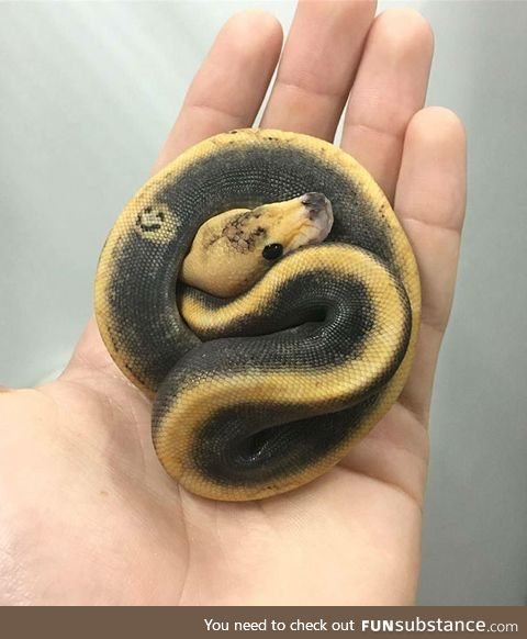 Smiley face ball python