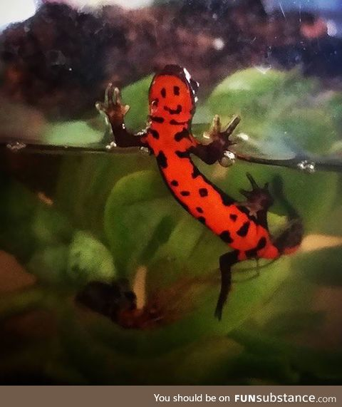 Smiley face newt