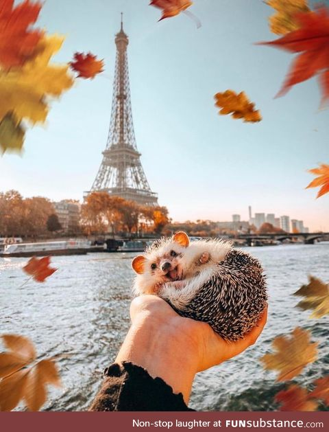 This hedgehog in Paris