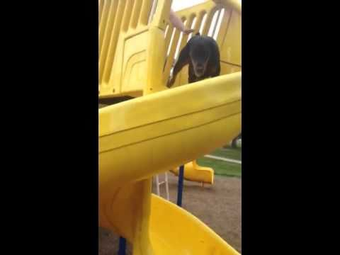 This Funny Dog Doesn't Understand The Meaning Of A Slide 0