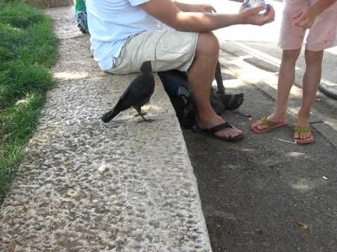 Watch This Smart Crow Ask Humans For Water