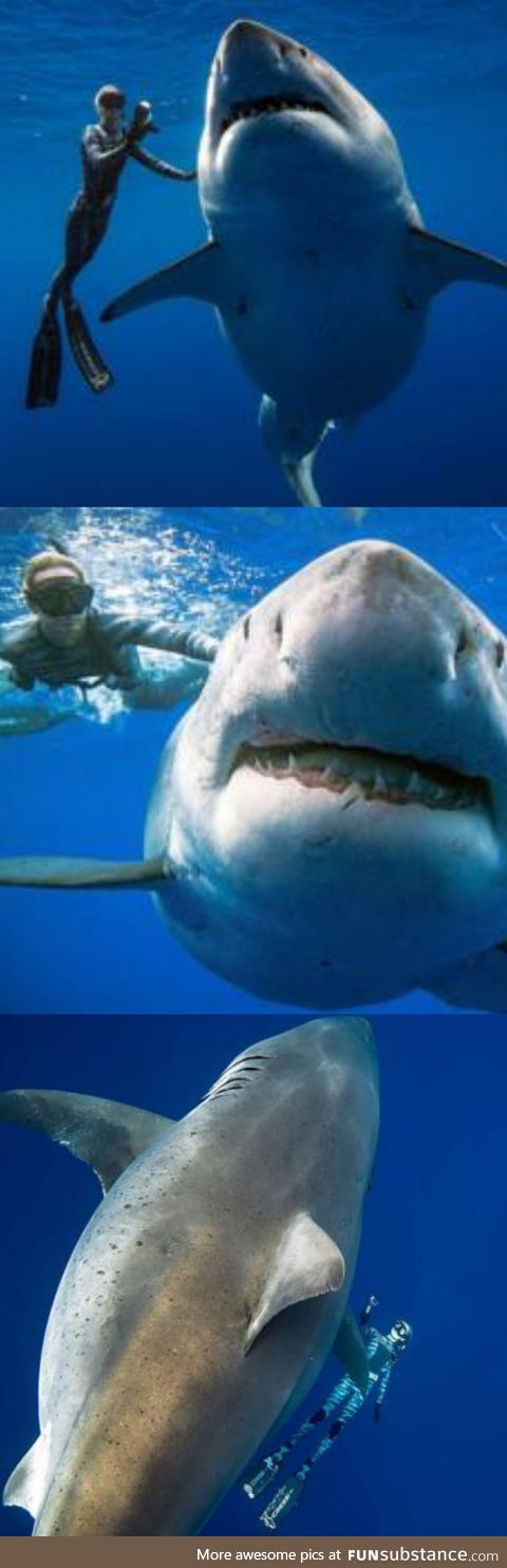 Deep Blue, largest documented Great White. No way in HELL I would get in that water.