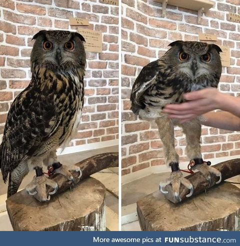 A considerable portion of an owl body volume is made up by feathers: As a consequence,