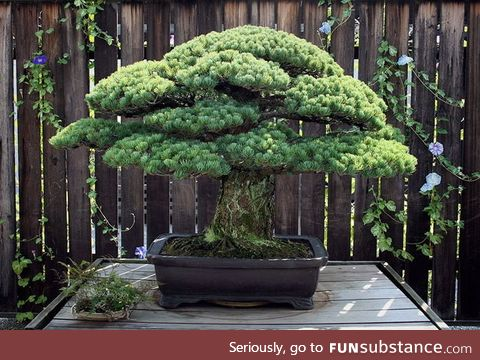 This Bonsai tree was planted in 1625, survived the bombing of Hiroshima and is still