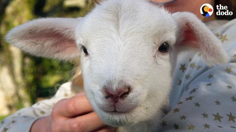 Beans the hyper little Lamb (FeelGoodSubstance)