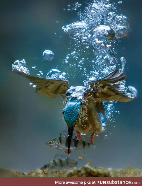 Kingfisher bird goes fishing