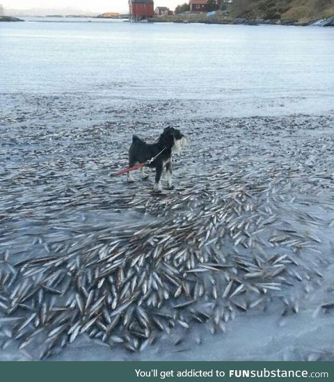 A large school of fish is frozen right under the surface of the water surface, near Lovund