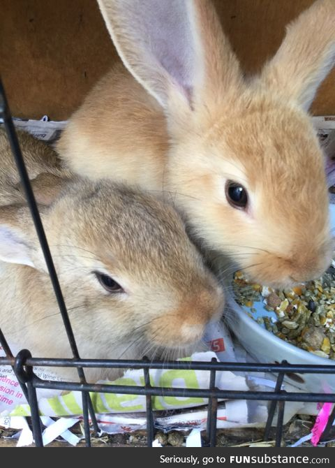 I babysit rabbits for the RSPCA. Thought I might share since everyone is posting