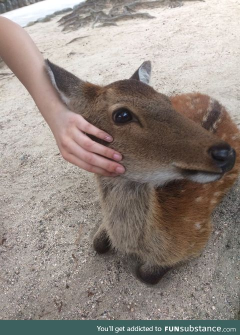 And to top it off, a beautiful deer I found on Myajima island!