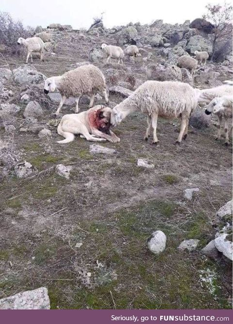 A sheep showing appreciation to the dog that saved them from an attack by wolves